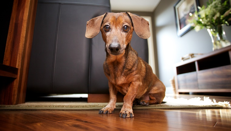 Older and distinguished mini daxie puppy dog sitting on hardwood floor in modern living room. Wrinkled brown fur matching colors of leather.