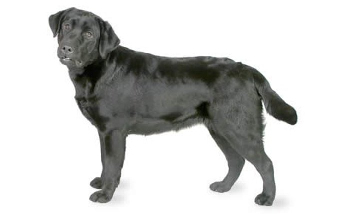 labrador-retriever-460x290