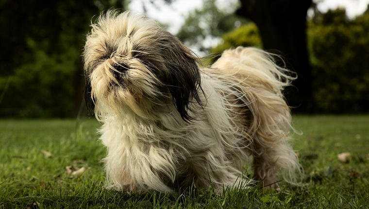 shih tzu life span in human years the most long lived dog breeds dogtime 452