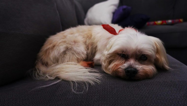 Portrait Of Shih Tzu Lying On Sofa At Home