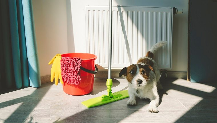 Cleaning Jack Russell Dog. Quarantine time. Cleaning up apartment