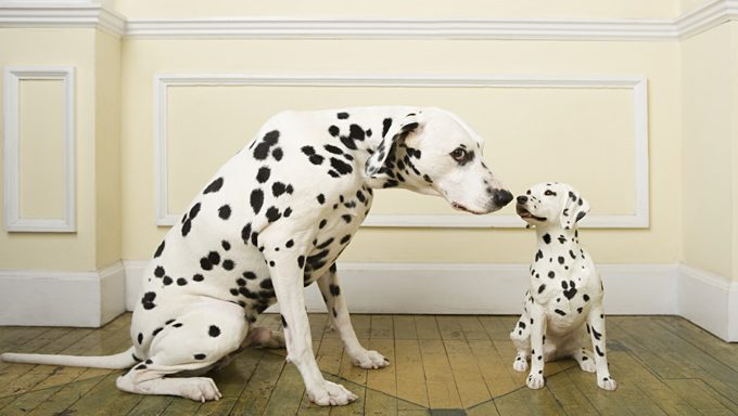 dalmatian dog touches noses with dalmatian puppy