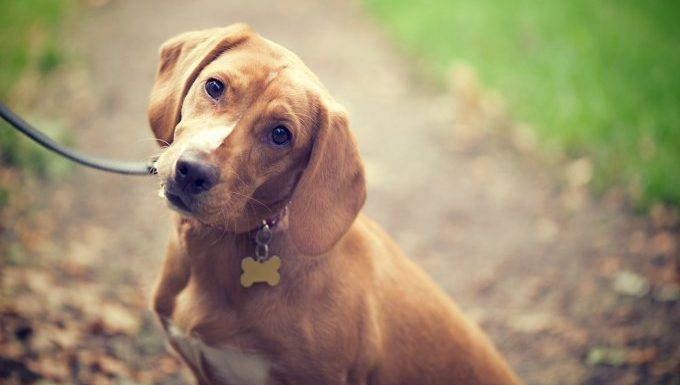 Ear Infections In Dogs: Symptoms, Causes, Treatment, And Prevention