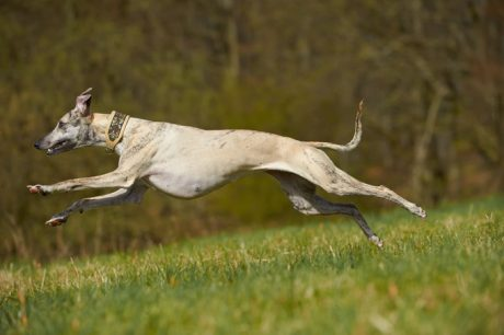Greyhound Dog Names