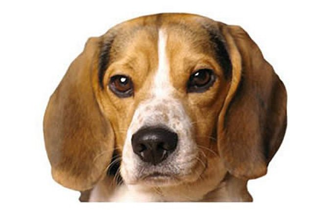 15-small-dogs-pocket-beagle