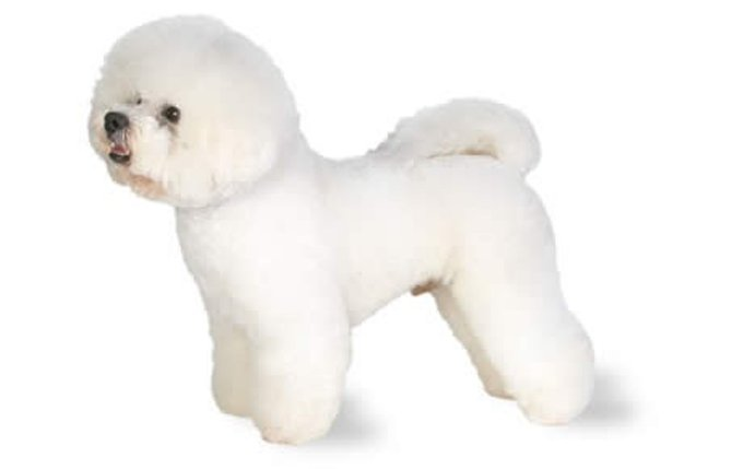 What Is The Name Of The Small White Fluffy Dog