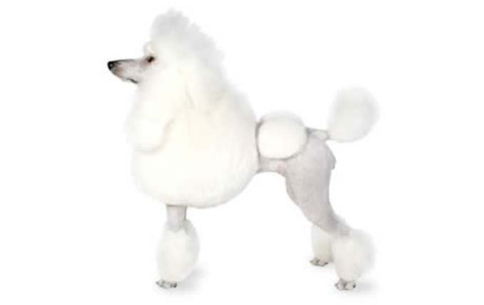 high-energy-small-dog-poodle