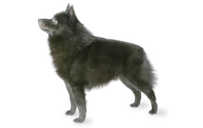 high-energy-small-dog-schipperke