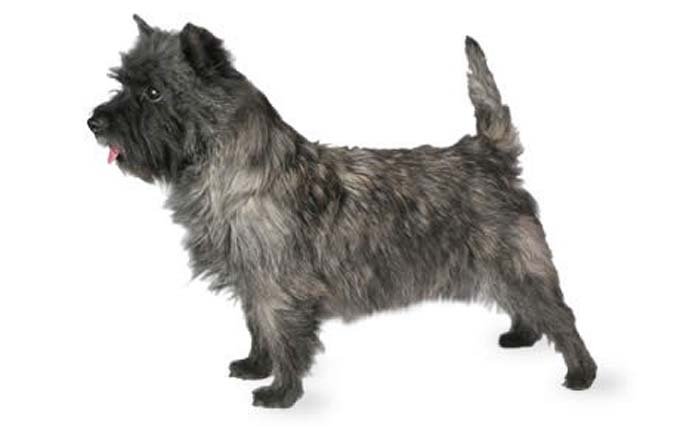 small-dogs-cairn-terrier