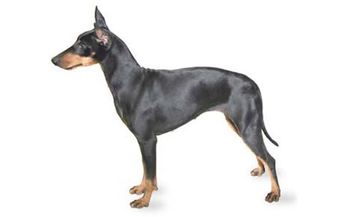 small-dogs-manchester-terrier