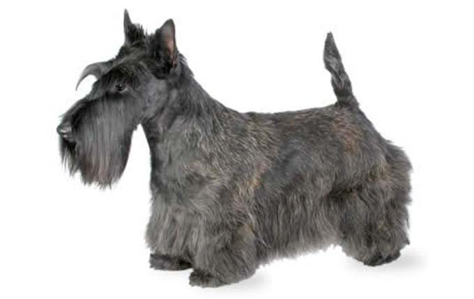 small-dogs-scottish-terrier