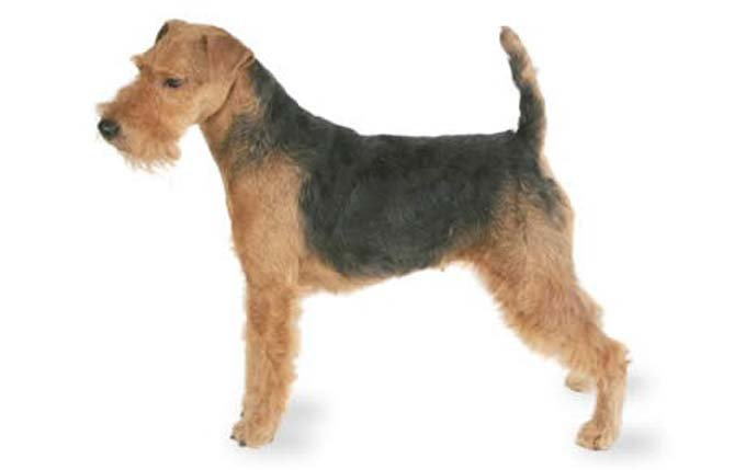 small-dogs-welsh-terrier