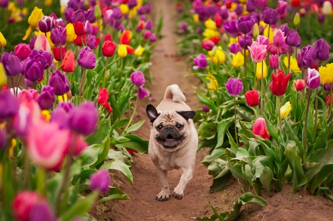 Wallace is a happy pug running through the tulip fields!