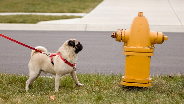 Here is a pug dog looking longingly at a fire hydrant.
