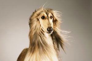 Afghan Hound Dog Names