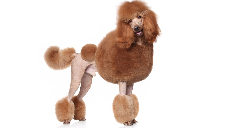 A brown Standard Poodle with an elaborately groomed coat stands in front of a white background.