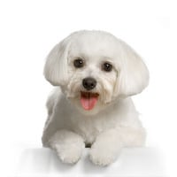 Cancer In Small Breed Dogs Maltese