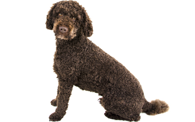 file_22634_what-is-a-labradoodle - Dogtime American Water Spaniel Dogtime