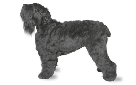 file_22822_black-russian-terrier - Dogtime