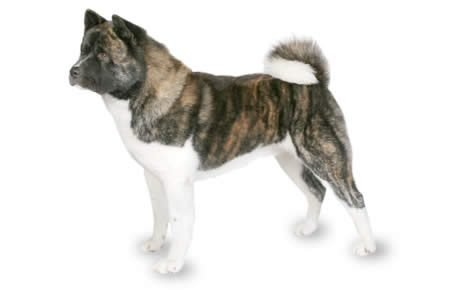 Akita Dog Breed Information, Pictures, Characteristics