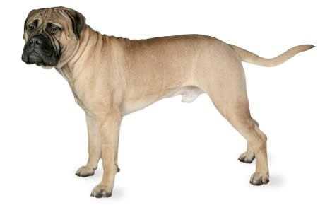 Bullmastiff Dog Breed Information, Pictures, Characteristics ...