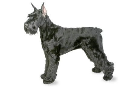 Giant Schnauzer Dog Breed Information, Pictures, Characteristics