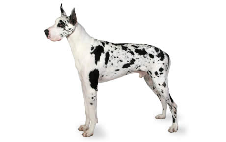 Hot girl great dane for the