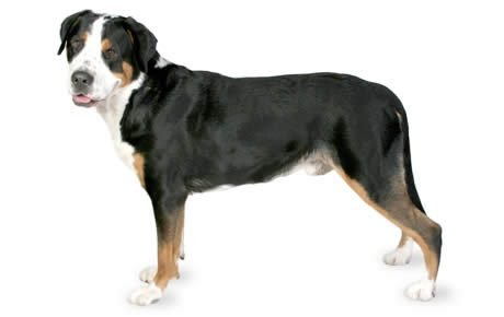 Greater Swiss Mountain Dog Breed Information Pictures