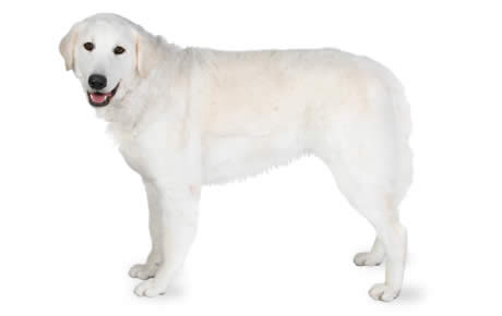 Kuvasz Dog Breed Information, Pictures, Characteristics & Facts ...