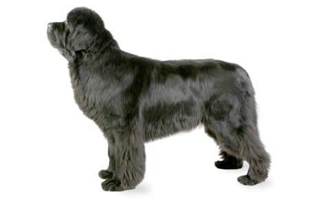 file_22938_newfoundland newfoundland dog breed information, pictures, characteristics