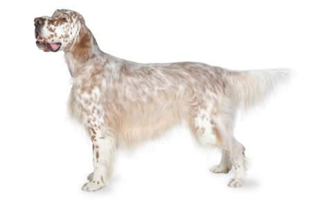 English Setter Dog Breed Information, Pictures, Characteristics ...
