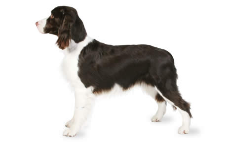 English Springer Spaniel Dog Breed Information Pictures