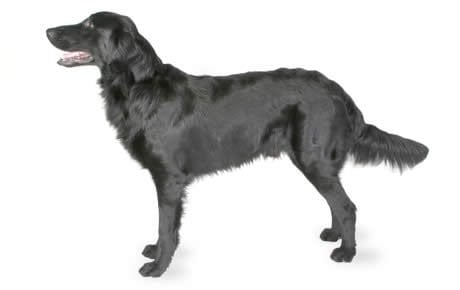 Flat,Coated Retriever Dog Breed Information, Pictures