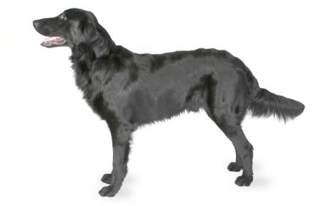 Flat Coated Retriever Dog Breed Information Pictures