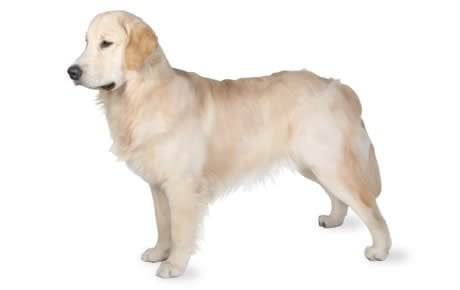Golden Retriever Dog Breed Information, Pictures, Characteristics