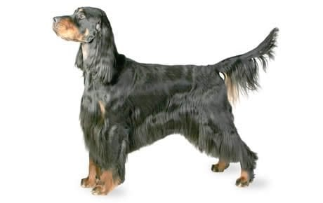 Gordon Setter Dog Breed Information Pictures