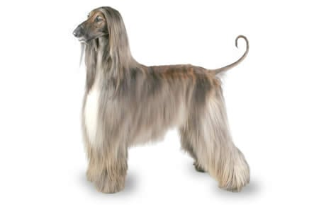 Afghan Hound Dog Breed Information Pictures