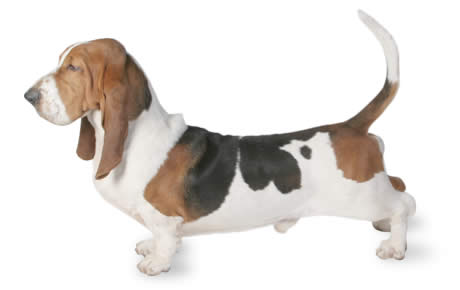 Basset Hound Dog Breed Information Pictures Characteristics