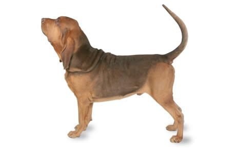 Bloodhound Dog Breed Information, Pictures, Characteristics