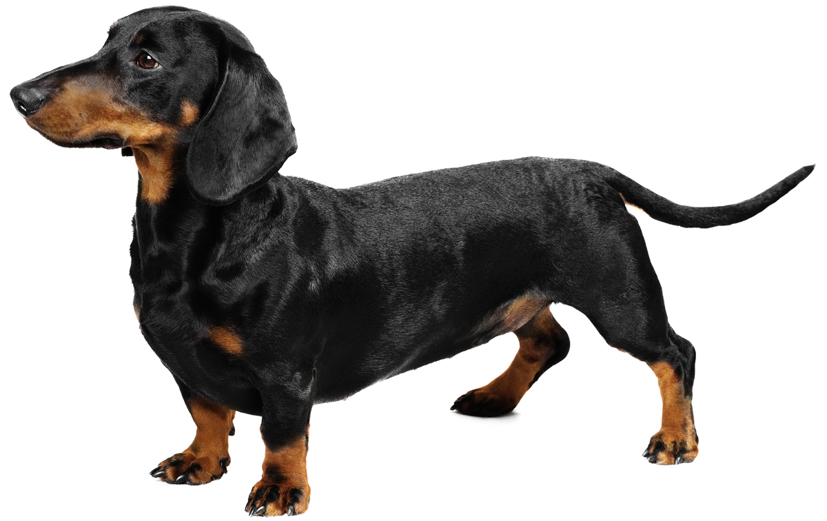 dachshund dog breed information, pictures, characteristics & facts