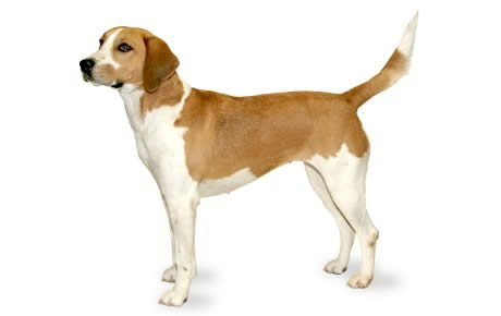 Harrier Dog Breed Information, Pictures, Characteristics ...