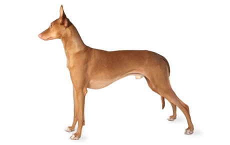 pharaoh hound dog breed information pictures characteristics amp facts