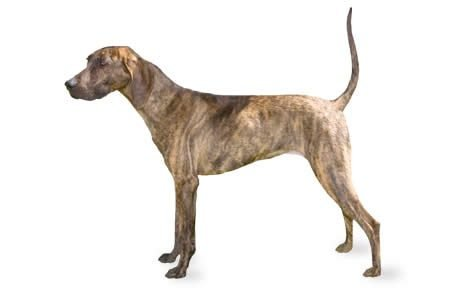 Plott Dog Breed Information Pictures Characteristics