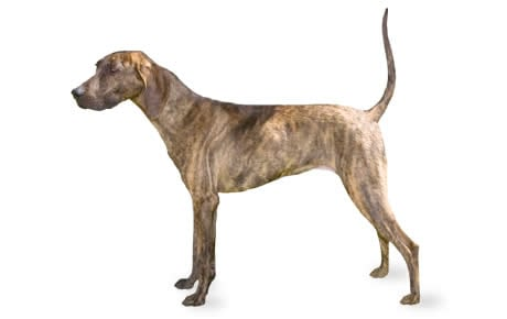 Plott Dog Breed Information Pictures Characteristics Facts Dogtime