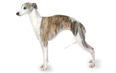 Small Racing Dog Breeds