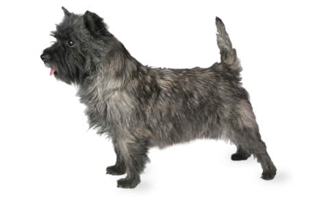 Cairn Terrier Dog Breed Information Pictures Characteristics Facts Dogtime