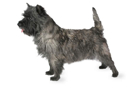 Cairn Terrier Dog Breed Information, Pictures, Characteristics ...
