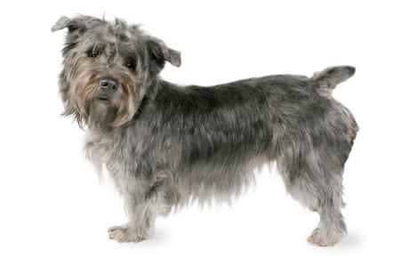 Glen of imaal terrier dog breed information pictures glen of imaal terrier dog breed information pictures characteristics facts dogtime altavistaventures Images