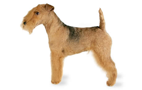 Lakeland Terrier Dog Breed Information, Pictures, Characteristics ...