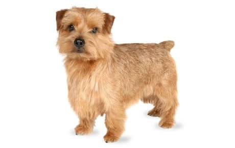 Norfolk Terrier Dog Breed Information, Pictures